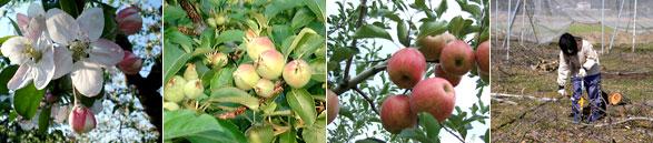 渡辺りんご園の四季